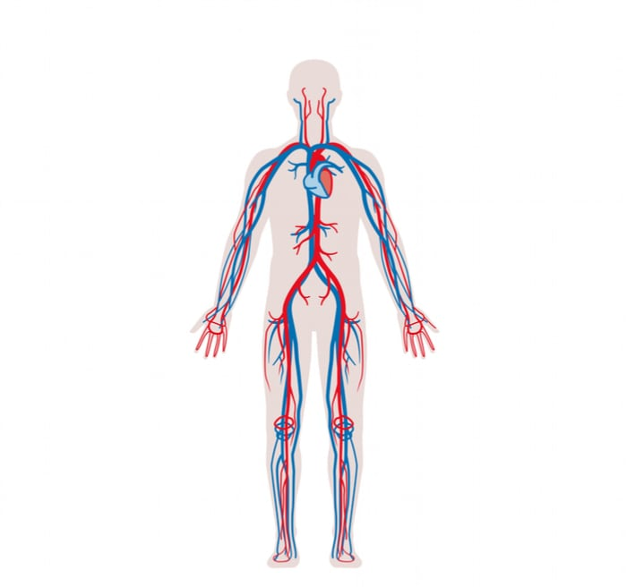 Vascular system illustration